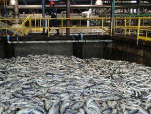 La especulación y el desastre sanitario–ambiental, hacen aumentar ganancias de industria salmonera