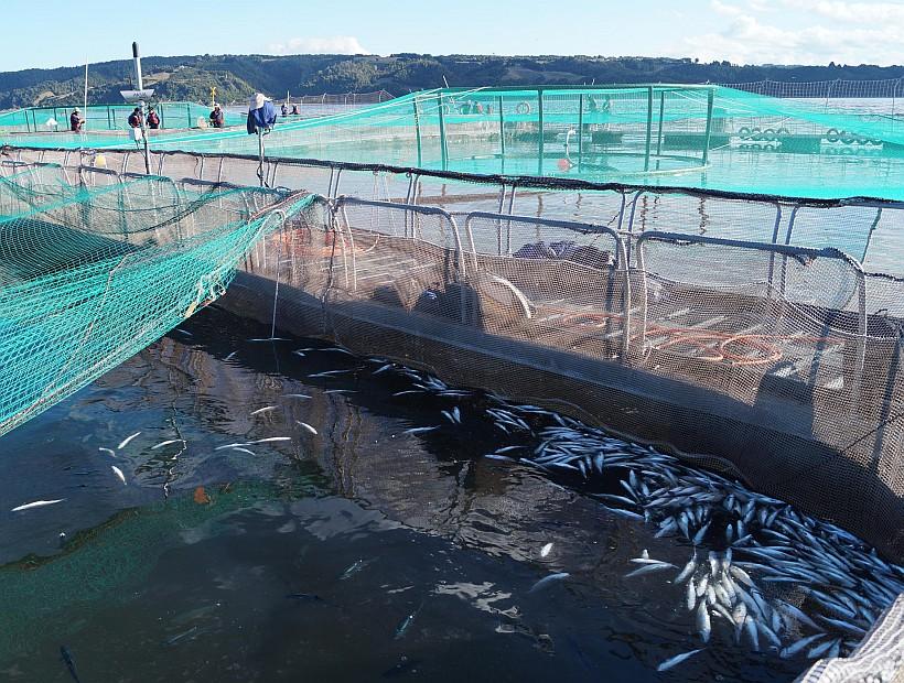 Vertimiento de salmones: Tras cinco años, querellantes accederán a carpeta investigativa