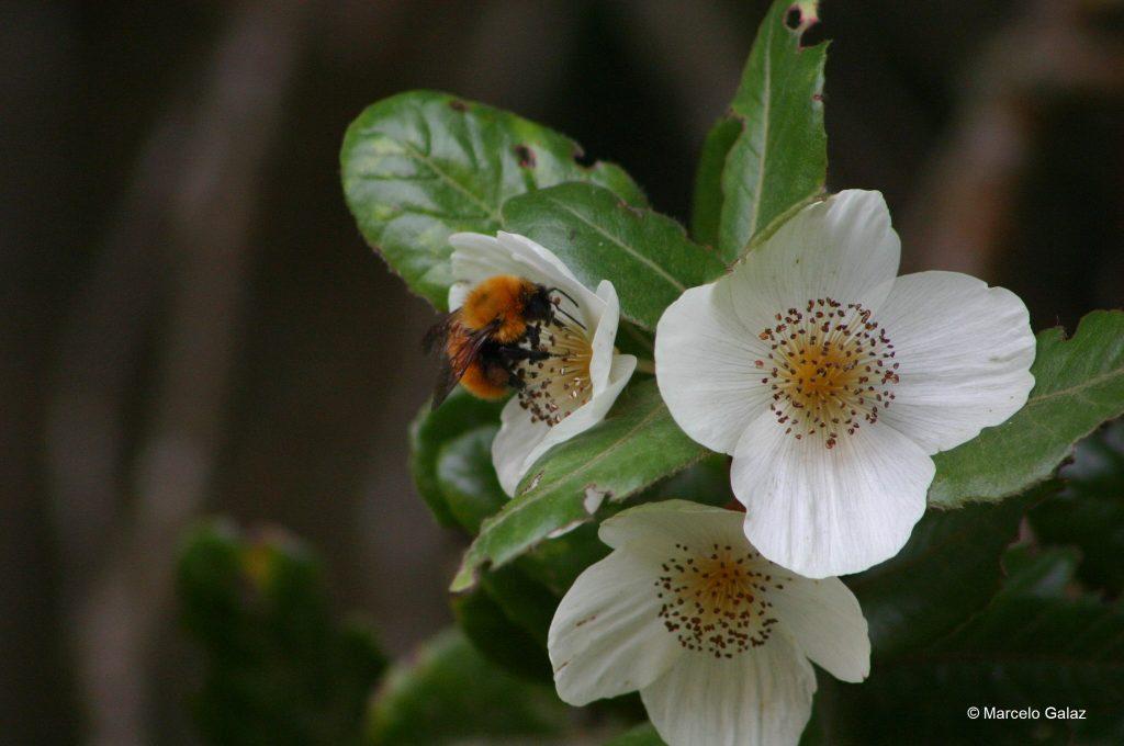 Un 25% de todas las especies de abejas conocidas no han vuelto a ser avistadas desde los ´90