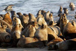 Pesca artesanal y lobos marinos: Biopopulismo y crisis socio-ambiental en el mar de Chile