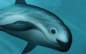 VIDEO   Podrían quedar solo diez vaquitas marinas en todo el mundo