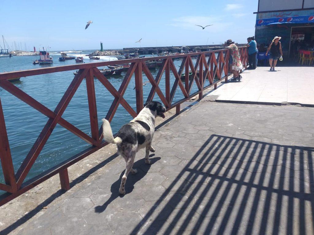 El perro Vaquita vuelve a las calles de Antofagasta