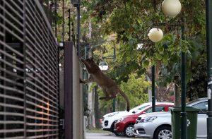 El diálogo del puma y un santiaguino