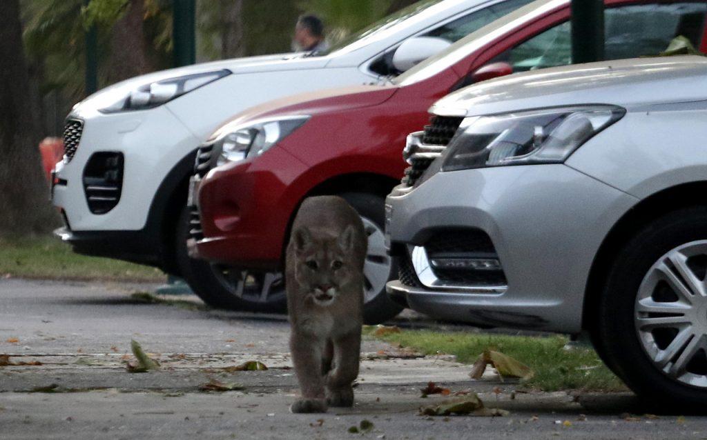 VIDEOS| Puma escapa frente a las cámaras de TV y genera amplio operativo en Lo Barnechea