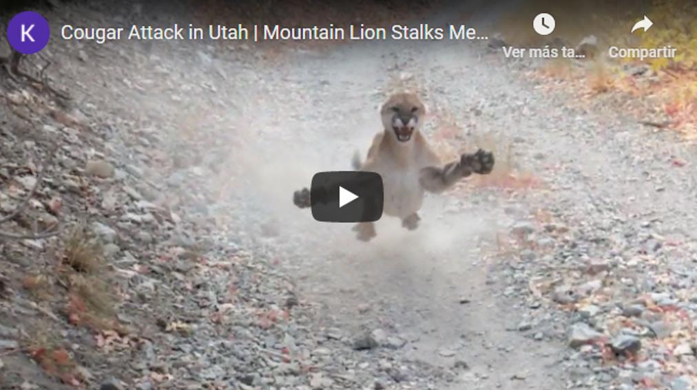 VIDEO   Excursionista huye de maniobra defensiva disuasoria de puma por 6 minutos