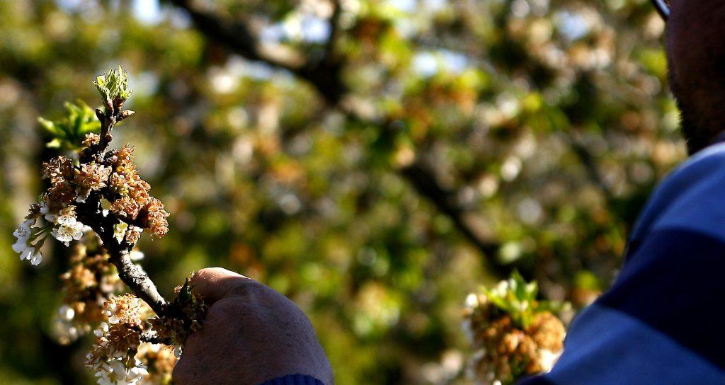 China destruye miles de cerezas chilenas tras detectar trazas de COVID-19
