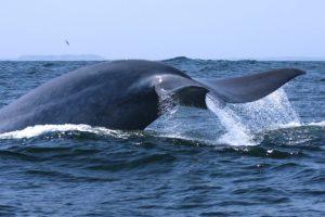 VIDEO | #ExpedicionesCientíficas: ¿Por qué el canto de las ballenas azules en Chile es único en el mundo?