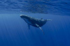 VIDEO | Alto tráfico pesquero en la patagonia chilena amenaza población de ballenas azules