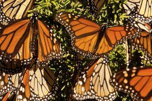 VIDEO | Un 'robot colibrí' espía a millones de mariposas monarcas y las filma alzando vuelo