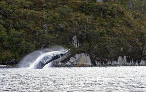 Magallanes: SMA ordenó ingreso a Evaluación de Impacto Ambiental a proyecto turístico de avistamiento de ballenas