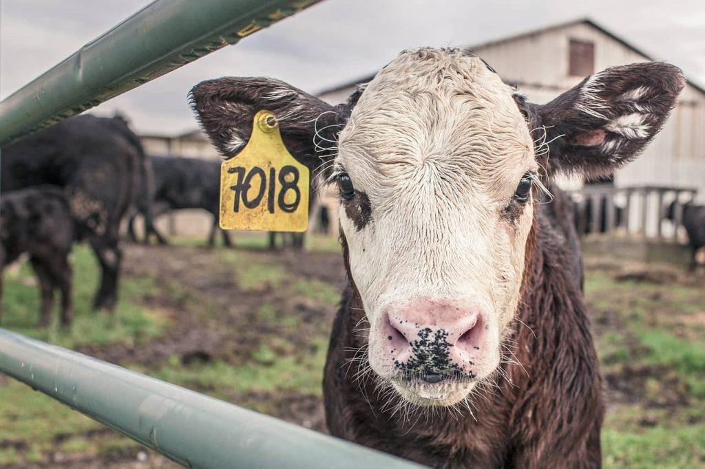 El 80 % de las muertes por contaminación del aire estarían relacionadas a la producción de lácteos, huevos y carne