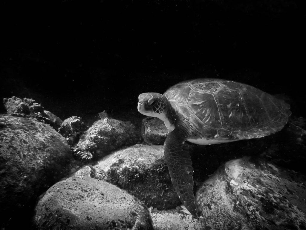 De Galápagos a Atacama: Las particularidades de las tortugas verdes en Bahía Chascos