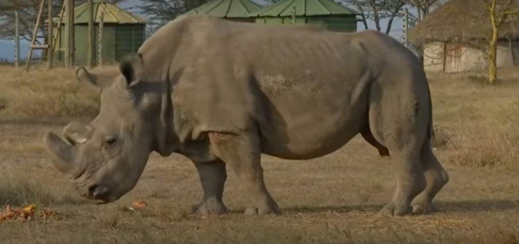 12 embriones viables de rinoceronte blanco del norte están listos para implantarse