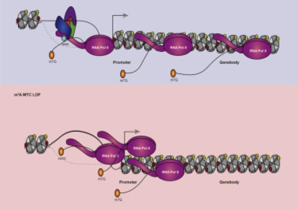 Un equipo visualiza por primera vez los bucles de las cadenas de ADN