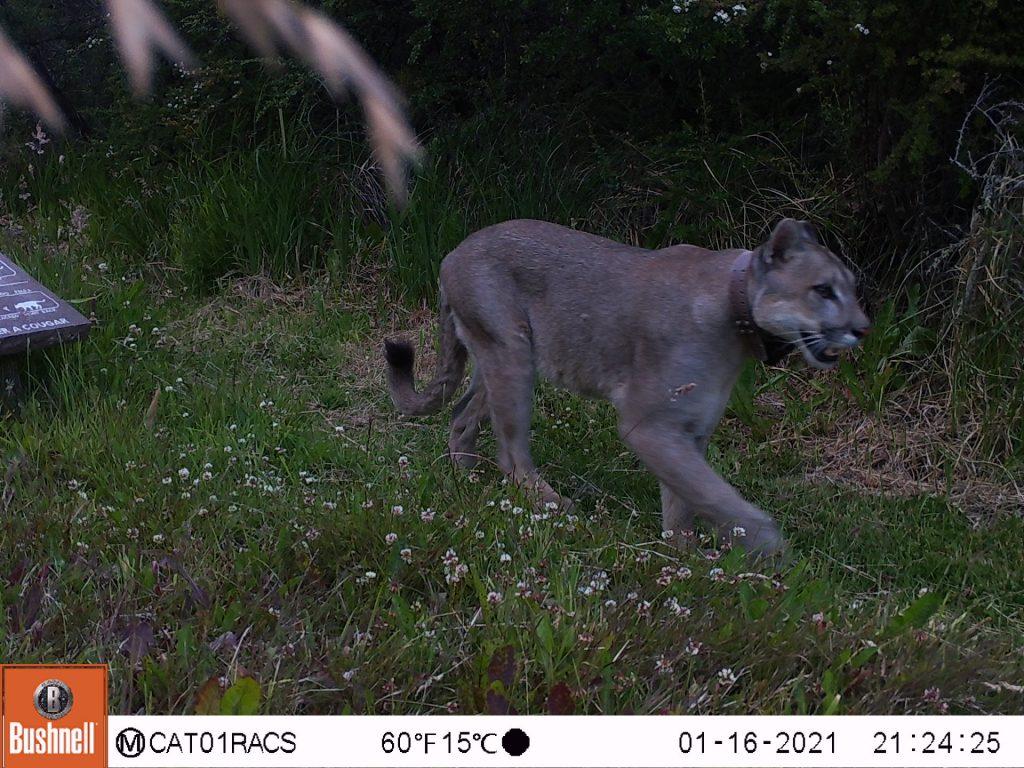 VIDEO   Parque Nacional Patagonia: Monitorean con cámaras trampa la interacción de pumas en áreas de uso público