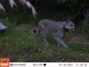 VIDEO | Parque Nacional Patagonia: Monitorean con cámaras trampa la interacción de pumas en áreas de uso público