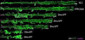 La metamorfosis de larvas tiene procesos similares al envejecimiento humano