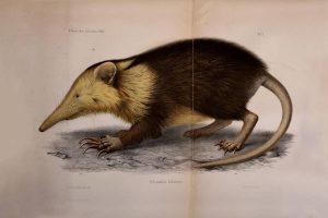 Nuevo estudio: 324 de las 2231 especies de roedores conocidos están en peligro de extinción